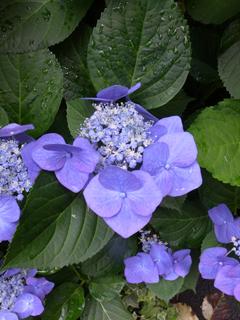 紫陽花(青紫)